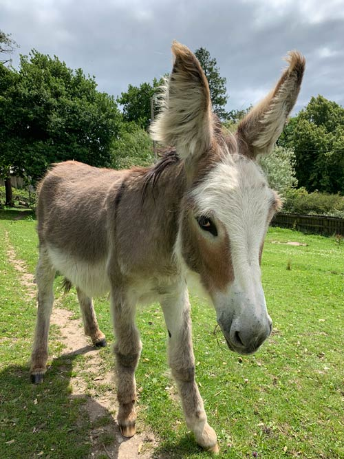 Sweet Pea, who has just turned one, was named by the Duchess of Cornwall. © The Donkey Sanctuary