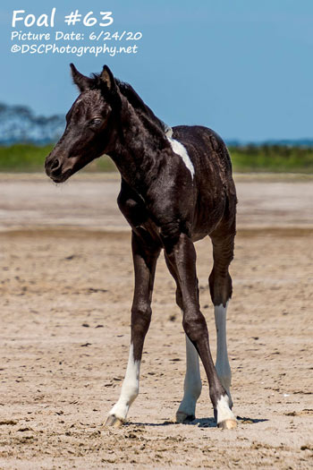 The sale-topping Chincoteague pony foal who fetched $US28,250.