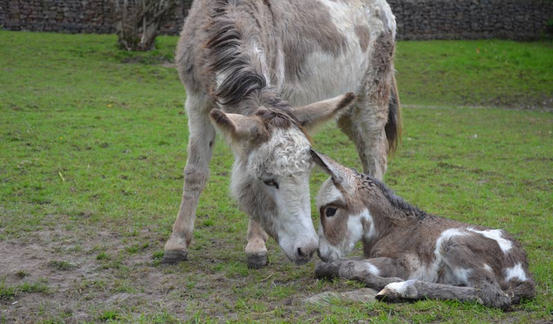 Of all the baby animals out there, few are as cute as a donkey foal.