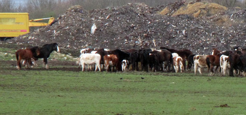 The horses were living in a large herd along with cattle. None had been handled. © World Horse Welfare