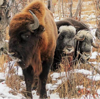 A wisent (European bison) with several musk ox in Pleistocene Park.