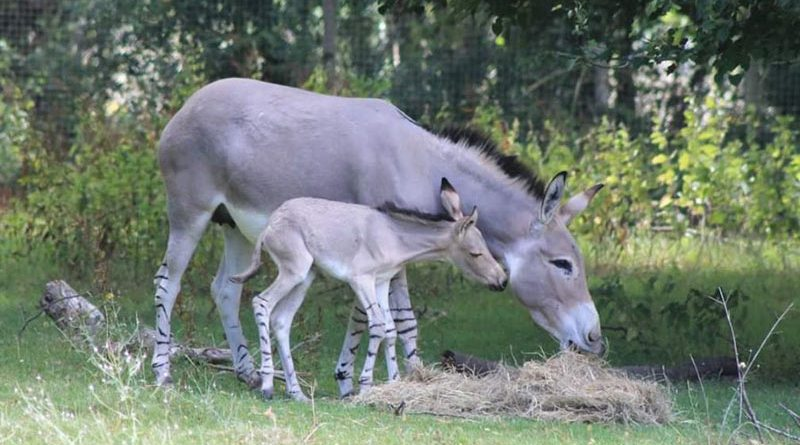 Jahzahra with her new foal.