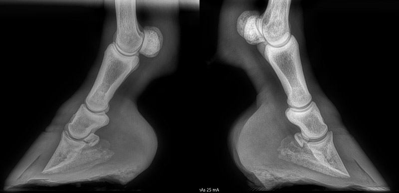 X-rays of Piglet's front feet in November 2019.