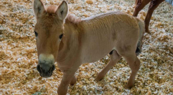 Kurt, a cloned Przewalski's horse.