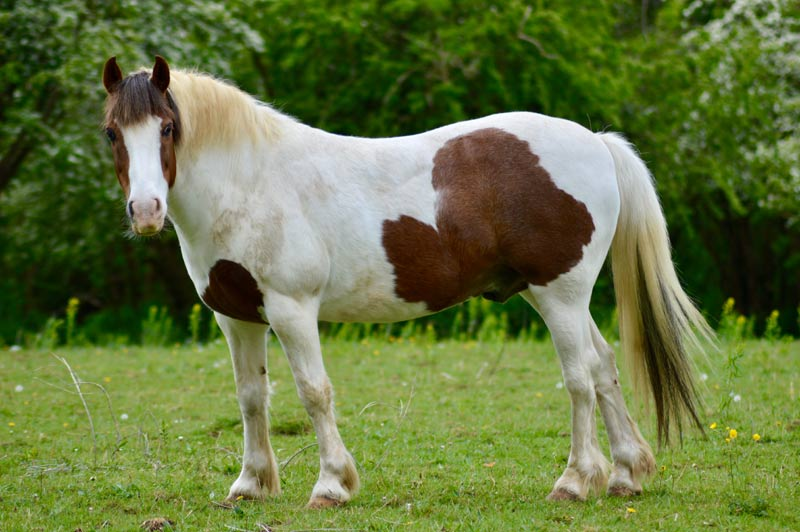 Ensuring risk factors around obesity and laminitis are highlighted when issuing equine-related guidance could improve the welfare of susceptible horses in the future.