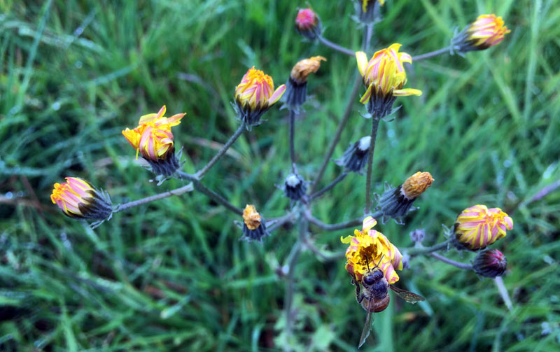 Like many plants, cat's ear tends to close up on dull days.