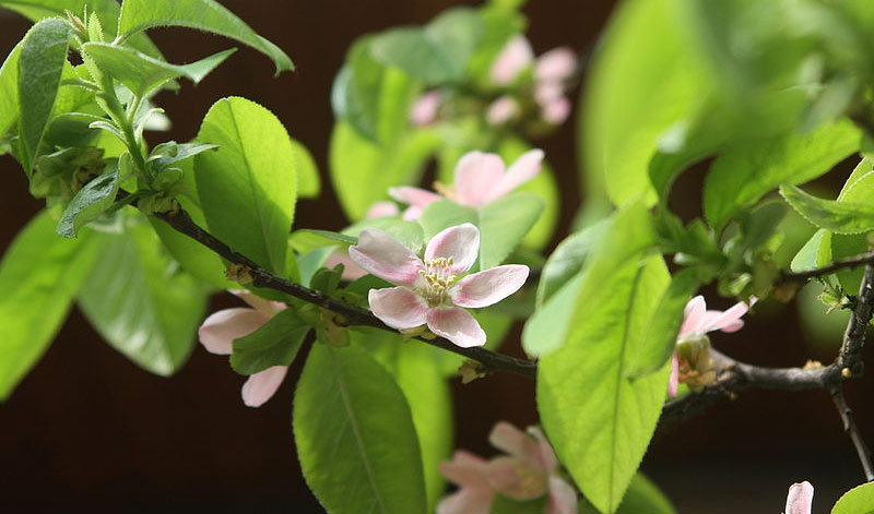 Sources of betulinic acid include Pseudocydonia sinensis, the flowering quince (above), white birch, rosemary, and Diospyros leucomelas, a member of the persimmon family.