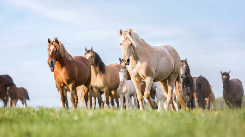 The Morris Animal Foundation webinar How 100 Horses Are Helping Horses Everywhere Have Healthier Lives looks at the unique Pioneer 100 Horse Initiative.