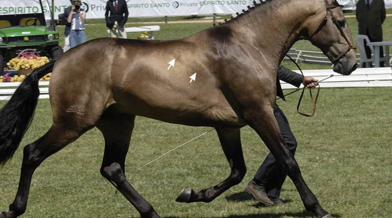 The edge of the latissimus muscle (arrows) is visible in this trotting horse.