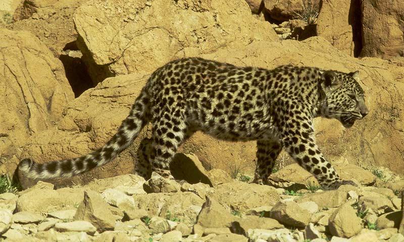An arabian leopard.