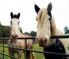Boo, left, and his companion, Flynn, a piebald cob.