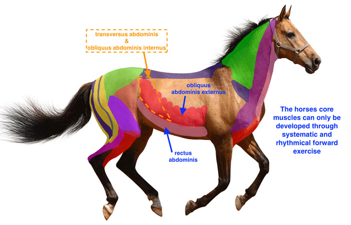 The core muscles of the horse.