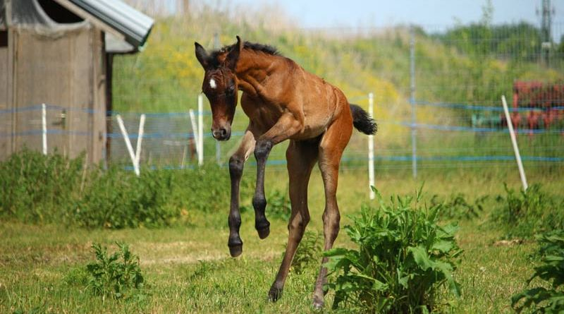 Young foals spend much of their days sleeping, drinking, galloping, sliding and jumping around.