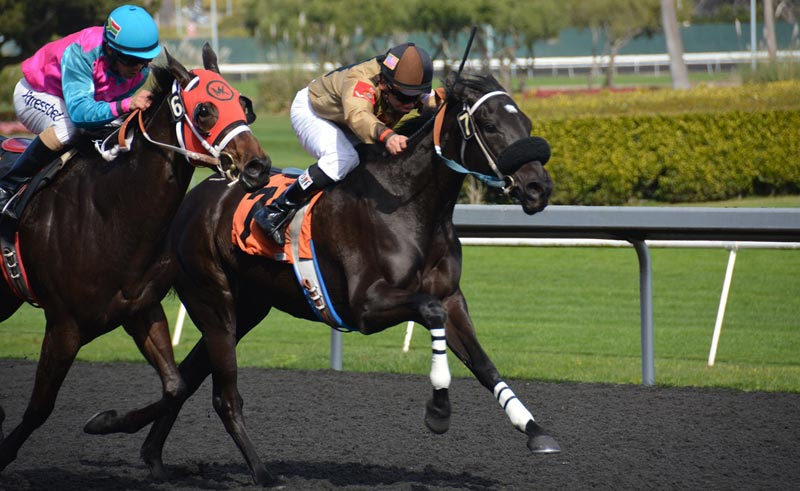 Many US racehorses are given furosemide  before racing to help prevent bleeding into the lungs.