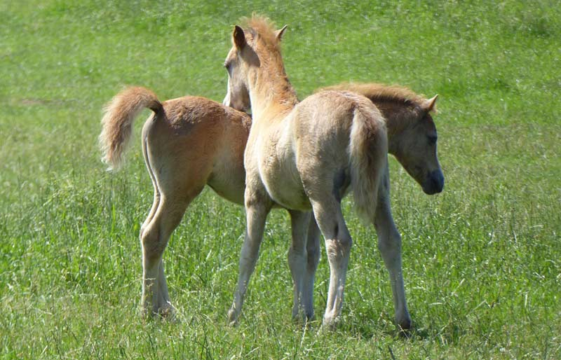 The authors of a new study described the level of EMS among Britain's native ponies and cobs as highly prevalent.