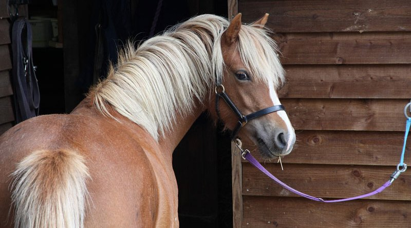 Equine metabolic syndrome (EMS), a major risk factor for laminitis in horses, is common among Britain's native ponies and cobs, research has found.