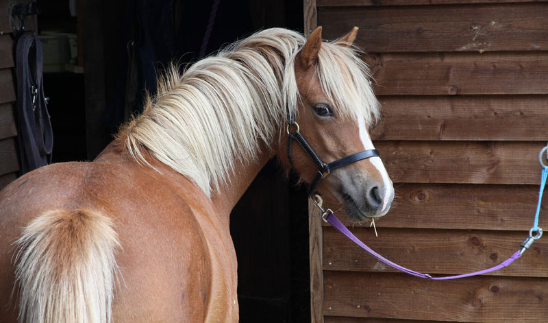 Researchers found breed was a significant risk factor for developing EHM during an outbreak in The Netherlands, with Welsh and Shetland pony breeds under-represented.