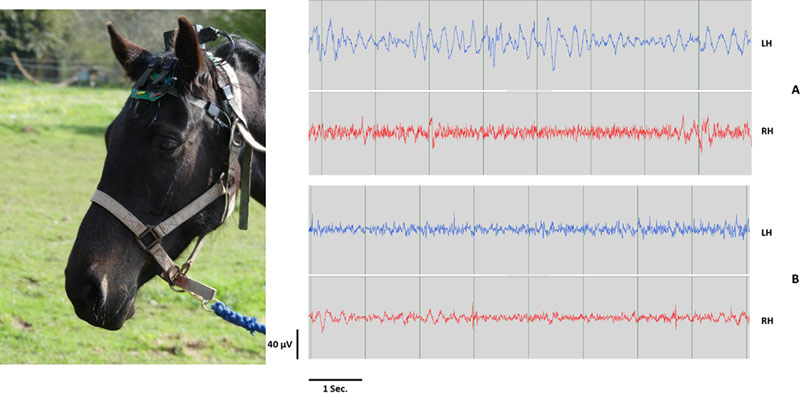 The EEG headset used in the study. At right is an example of 8 sec. electroencephalography (EEG) recordings of left (LH) and right (RH) hemispheres obtained with the EEG headset on two horses.
