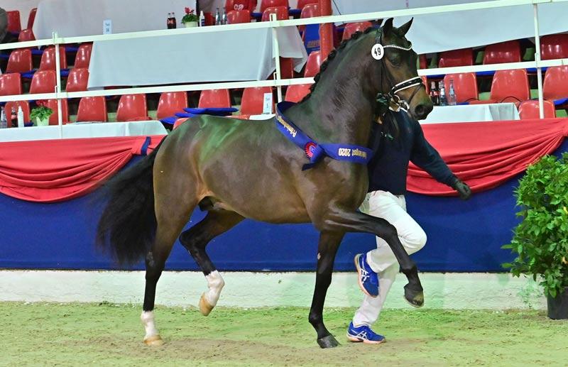 The son of For Dance, who was Reserve Champion Stallion of the Verband der Züchter des Oldenburger Pferdes, sold for €281,000 at the Oldenburg Stallion Market.