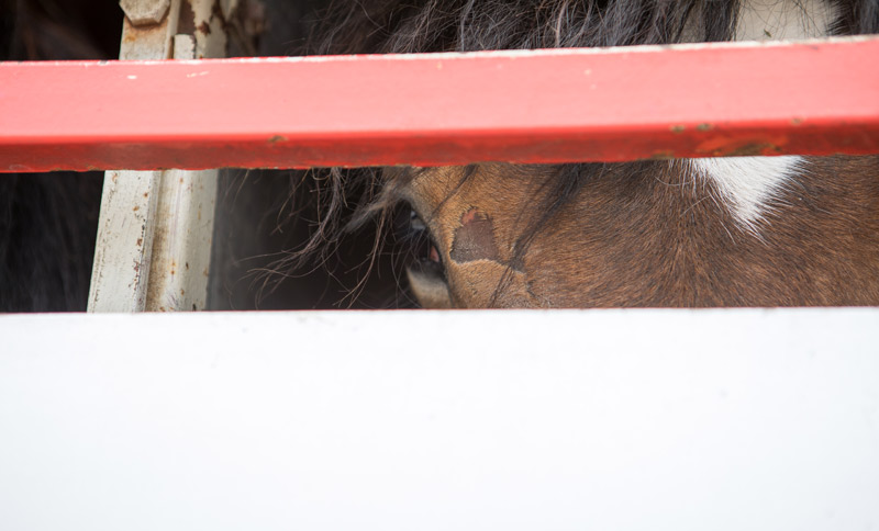 Horses are transported in trucks for thousands of miles across Europe to reach slaughter plants.