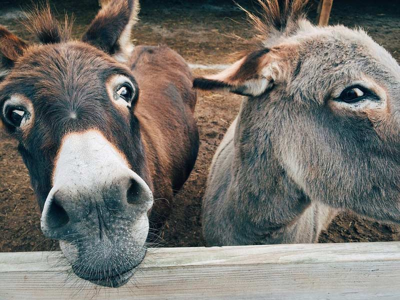 Researchers exploring the origins of domestic donkeys found three main modern-day clusters.