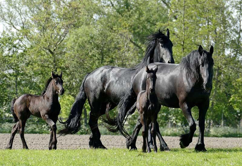 International genetic experts converge to study fatal flaw in Friesian  horses - Horsetalk.co.nz