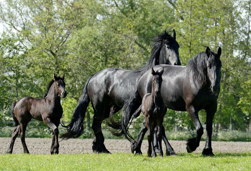The Fenway Foundation for Friesian Horses has joined with the Gluck Equine Research Center at the University of Kentucky and Wageningen University in The Netherlands to study the megaesophagus and aortic rupture genetic flaw in Friesian horses.