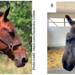 Comparison between standardbred, left, and donkey head profiles. Donkeys have shorter and narrower faces than Standardbreds, but they did not differ in the nasal, cranial or, mandibular indices. While the nasal profile index also did not differ, donkeys did exhibit a smaller cranial profile index, as portrayed by the distinct forehead in the donkey.