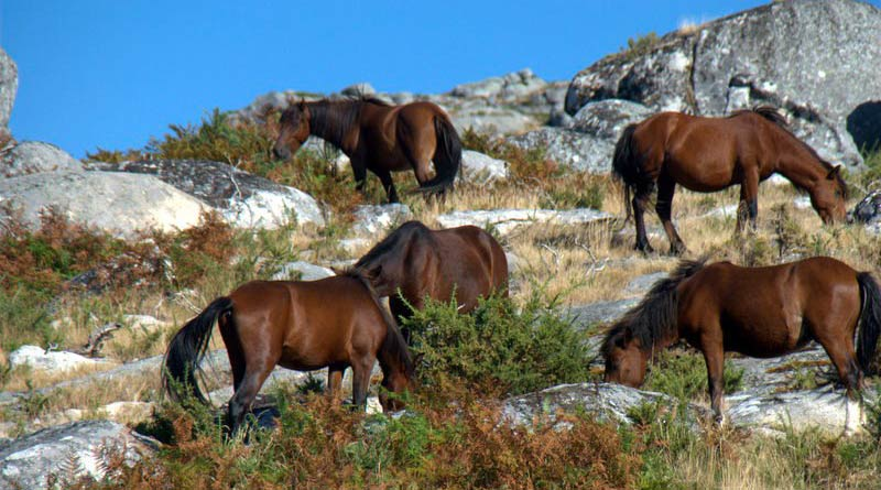 A group of feral horses in Serra D'Arga, Portugal.