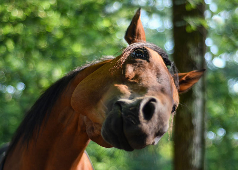 Researchers have found that mineralisation of the longitudinal odontoid ligament in the horse is not related to head shaking.