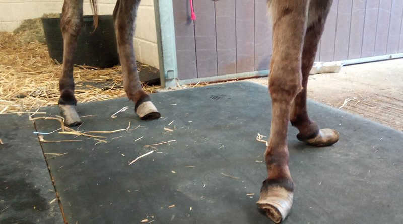 Lily's hooves were overgrown and twisted.