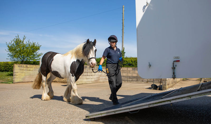 Homeward bound: One of last year's 356 rehomed equines heads off to his new home.