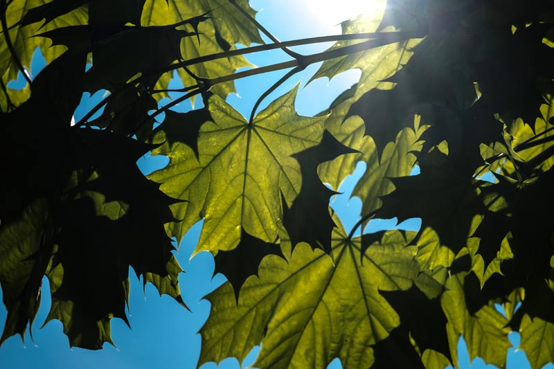 Acer tree leaves