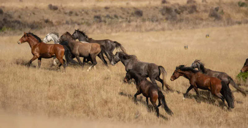 Wild horses being rounded up in the Department of Conservation muster in 2019.