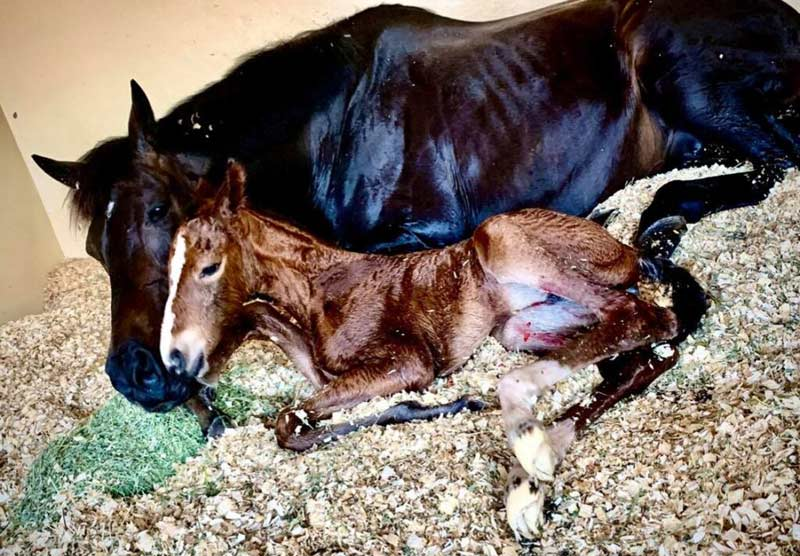 """Newborn foal """"Lady"""" owned by Ponies and Palms Show Stables and bred through an embryo transfer."""