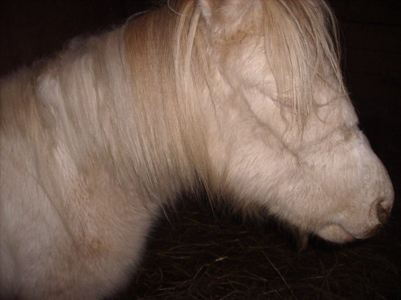 Side view of a two-year-old Shetland pony with strangles.