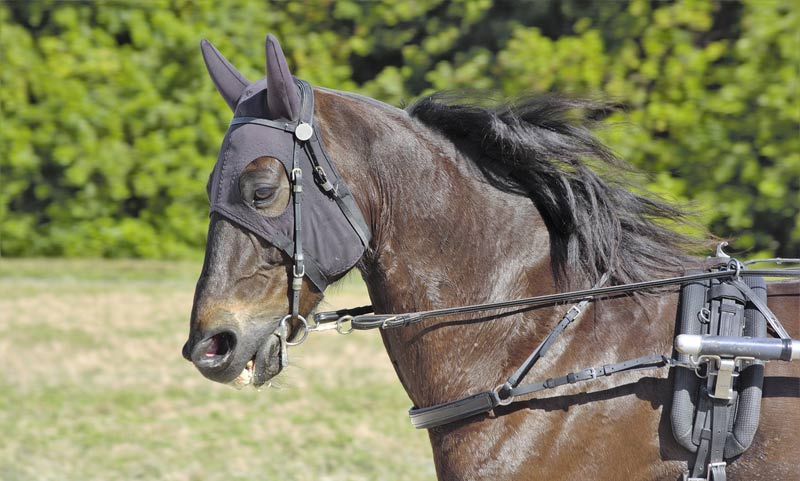 The snaffle trotting bit was the most common bit among all the breeds, worn by 98 horses. Half of them - 49 - were found to have moderate or severe oral lesions after racing.