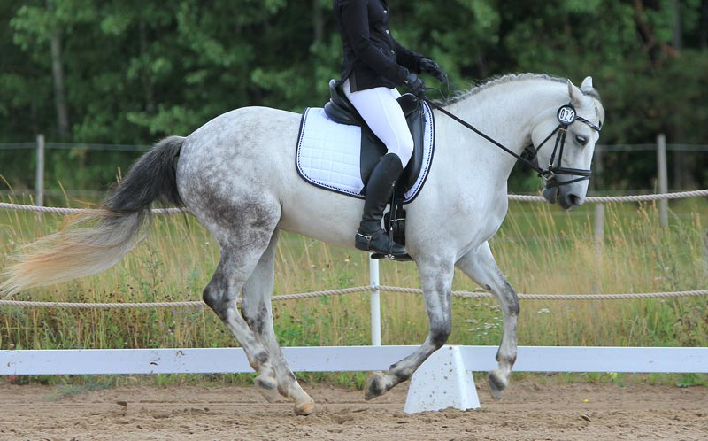Horses with higher pain scores worked with the front of their head 10 degrees or more behind a vertical position for 10 or more seconds, the researchers said.