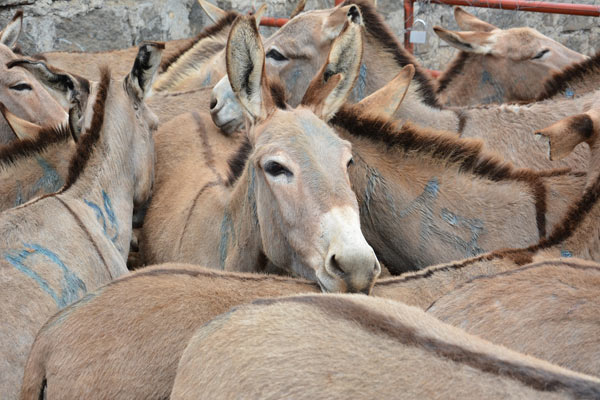 Donkeys in pens at the Star Brilliant slaughterhouse in Kenya.