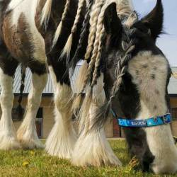 Heather needs a home as a non-ridden companion horse. © Blue Cross