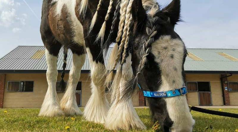 Ten-year-old piebald cob Heather has been looking for a home for over 500 days and Blue Cross is looking to find her happy ending where she will live as a non-ridden companion.