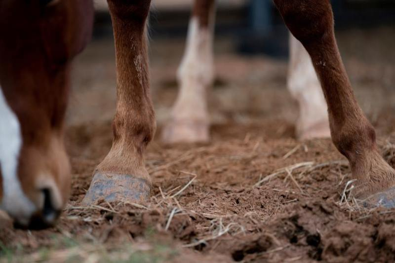 Bone formation in young horses is of concern when bisphosphonates are used. Photo: Laura McKenzie, Texas A&M AgriLife
