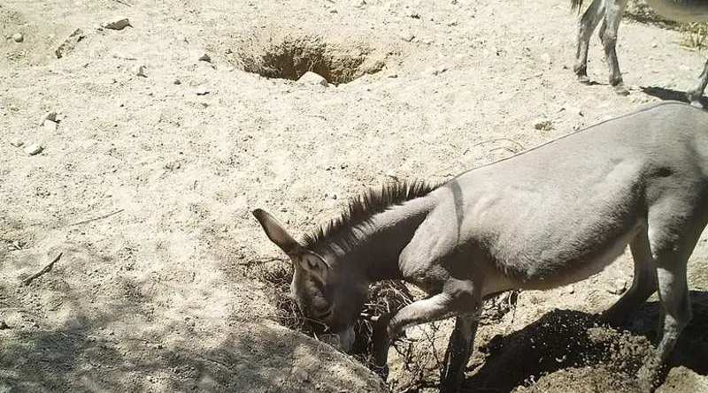 A wild donkey digs a well in the Sonoran Desert, in the US.