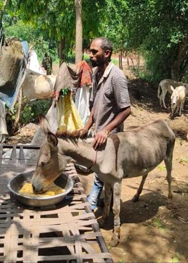 An owner feeds his donkey with donated fodder following last week's cyclone.