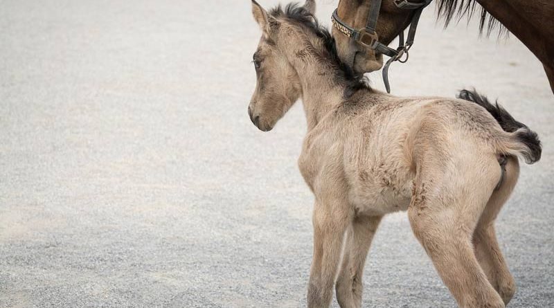 Equine surgery assistant professor Dr Annette McCoy discusses her new study looking at how exercise programs in foals could prevent orthopedic injuries later in life.