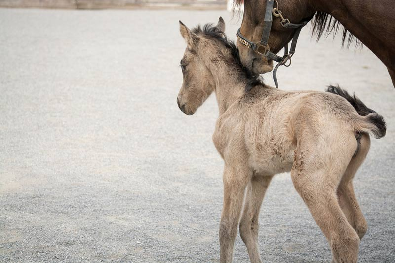 Numerous factors influence pregnancy rates achieved when mares are bred with cooled stallion semen.