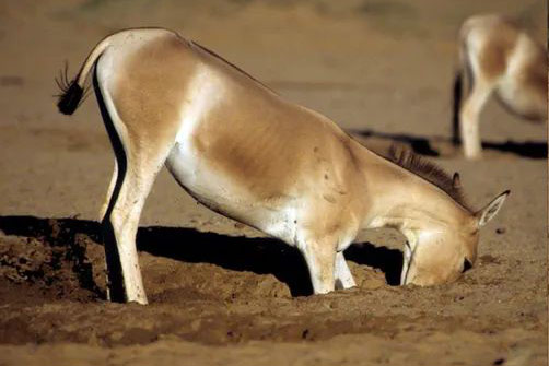 A kulan in central Asia digging a well.