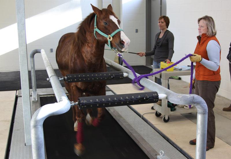 A horse undergoing rehabilitation on a treadmill.
