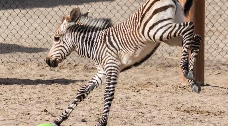 Hartmann's mountain zebra colt Archie enjoys zooming around his enclosure.