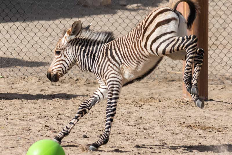 Archie was born at Hogle Zoo on May 31 to Poppy and Scooby.